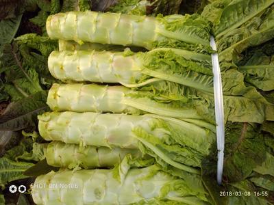 湖北省荆州市荆州区红叶莴笋 50-60cm 1.5~2.0斤