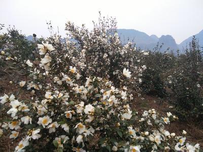 广东省深圳市宝安区野生山茶油 500ml