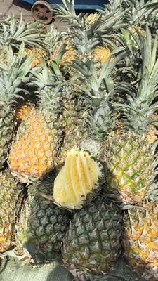 贵州省安顺市西秀区河口菠萝 2.5 - 3斤