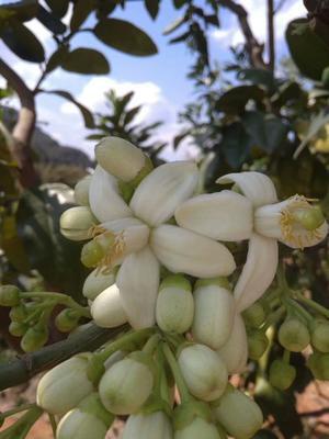 广东省梅州市梅县区梅州蜜柚 2斤以上