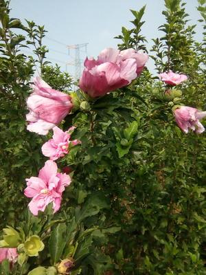 山东省泰安市泰山区红花木槿树
