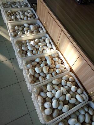 河北省唐山市丰润区种鹅蛋 孵化 散装
