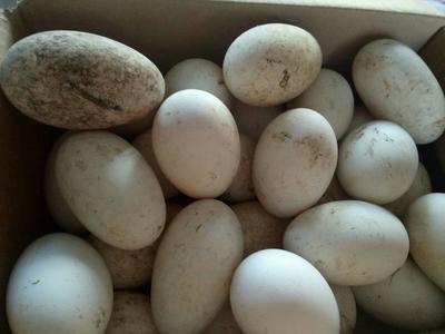 黑龙江省哈尔滨市五常市种鹅蛋 孵化 箱装