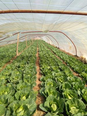陕西省西安市阎良区绿甘蓝 1.5~2.0斤