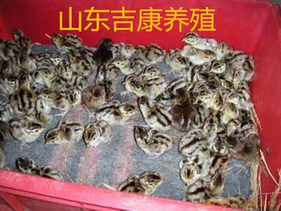 山东省济宁市嘉祥县红腹锦鸡