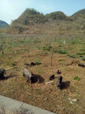 贵州省六盘水市六枝特区从江香猪 20-40斤