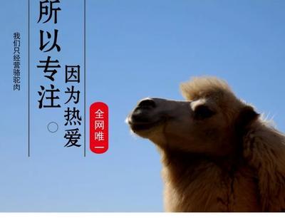 内蒙古自治区阿拉善盟阿拉善左旗混血骆驼