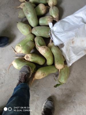 河南省开封市开封县青皮萝卜 0.2斤以下