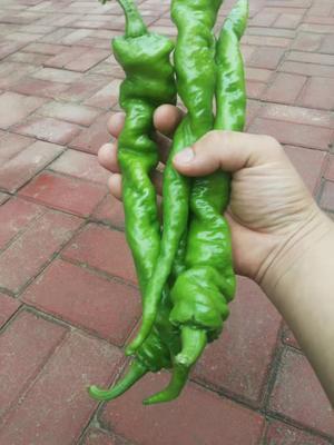 河南省郑州市惠济区螺丝椒种子 95%以上 杂交种