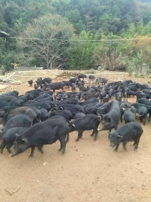 江西省九江市彭泽县藏香猪 20-40斤