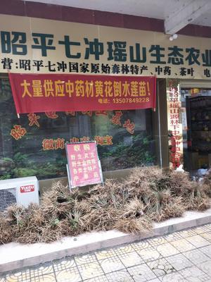 广西壮族自治区贺州市昭平县黄花倒水莲