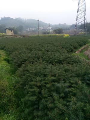广西壮族自治区柳州市融安县香杉