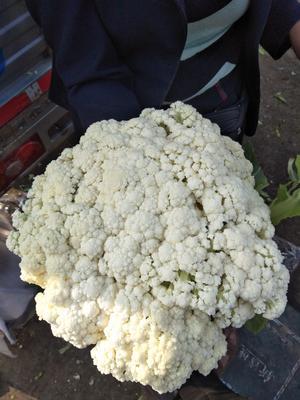 云南省曲靖市马龙县白面青梗松花菜 松散 2~3斤 乳白色