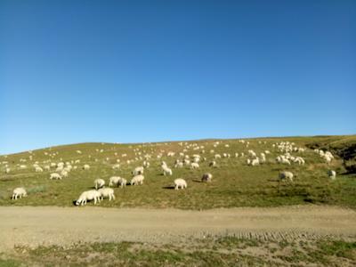 内蒙古自治区锡林郭勒盟锡林浩特市草原纯天然羔羊肉预定 生肉