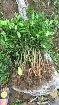 广西壮族自治区钦州市灵山县柑树苗 1~1.5米