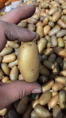 内蒙古自治区呼伦贝尔市海拉尔区荷兰十五号种薯 一级原种