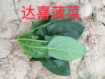 山东省济南市历城区黑圆大叶菠菜种子