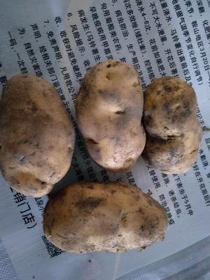 辽宁省鞍山市海城市荷兰806土豆种子 一级原种