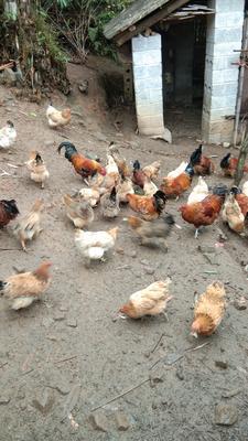 广西壮族自治区百色市凌云县白条鸡 简加工