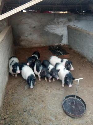 吉林省辽源市龙山区巴马香猪 40-60斤