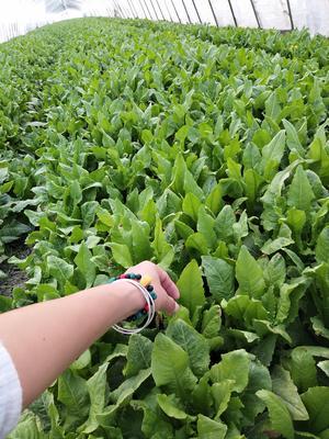 安徽省安庆市大观区纯香油麦菜 25~30cm以上