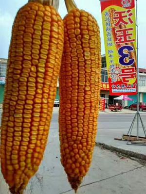 安徽省宿州市埇桥区玉米种子
