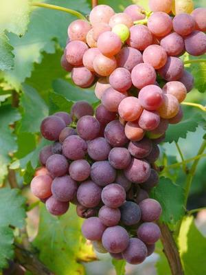 安徽省马鞍山市和县巨峰葡萄 5%以下 1次果 2斤以上