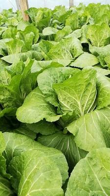 山东省潍坊市青州市菊锦春白菜 6~10斤 净菜