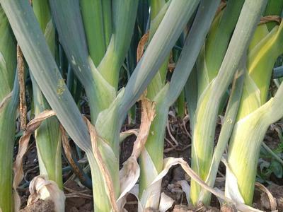 吉林省通化市梅河口市高白五叶齐大葱种子 ≥90% 杂交种