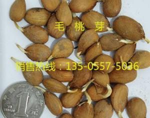 安徽省宿州市砀山县桃树种子