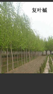 山西省运城市绛县花叶复叶槭