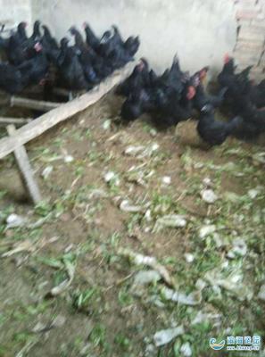 山西省临汾市隰县黑羽乌鸡 3-4斤