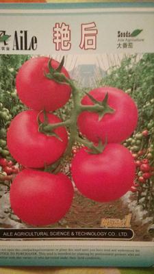 湖南省湘潭市韶山市红果西红柿种子 98% 杂交二级