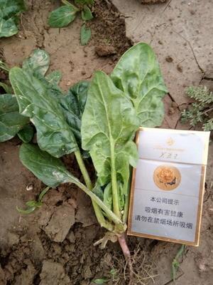 河南省商丘市虞城县黑叶菠菜 10~15cm