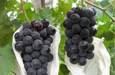 山东省青岛市莱西市藤稔葡萄 5%以下 1次果 1-1.5斤