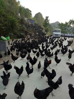 广西壮族自治区河池市东兰县乌骨土鸡 3-4斤