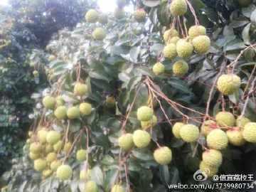 广东省茂名市信宜市荔枝王 2cm