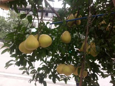 重庆长寿区沙田柚 1.5斤以上