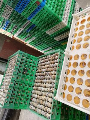 四川省成都市成华区黄羽鹌鹑蛋 食用 散装