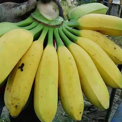 广东省广州市天河区广东香蕉2号 七成熟 40斤以下