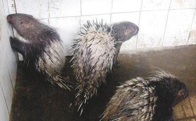 广东省惠州市惠城区中华豪猪 30-40斤