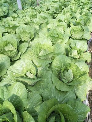 山东省潍坊市青州市菊锦大白菜 6~10斤 毛菜