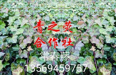 河南省许昌市鄢陵县常春藤 50~70cm