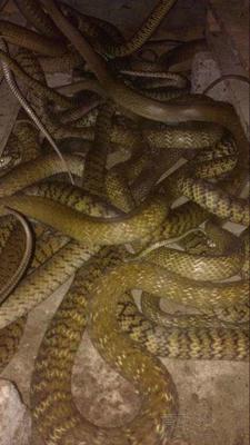 广西壮族自治区北海市合浦县水律蛇 食用
