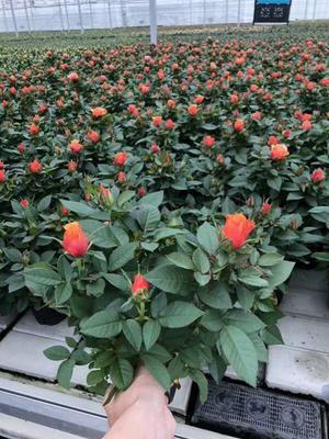 广东省广州市荔湾区玫瑰种子