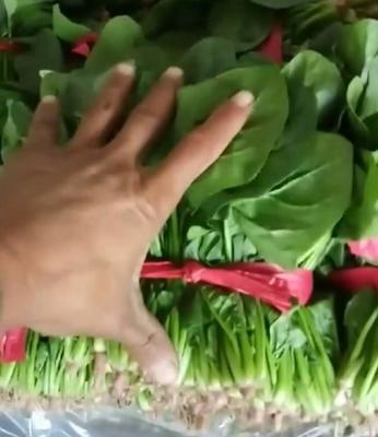 山东省菏泽市鄄城县越冬菠菜 15~20cm