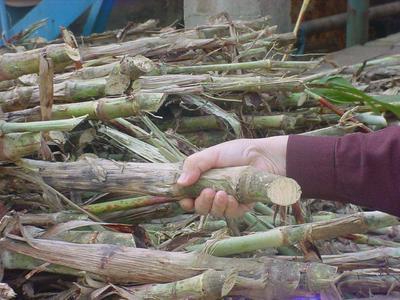 山东省济宁市任城区甜高粱种子 种子