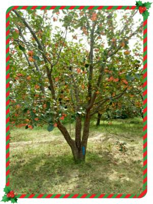 河北省张家口市怀来县共应八棱海棠树