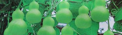 广东省广州市荔湾区葫芦种子