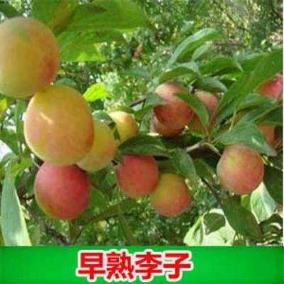 广西壮族自治区钦州市灵山县三华李苗